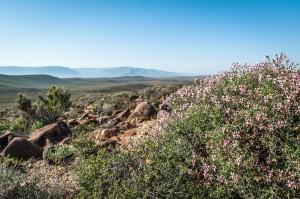 Tankwa Karoo shrubs