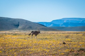 Gemsbok Tankwa Karoo