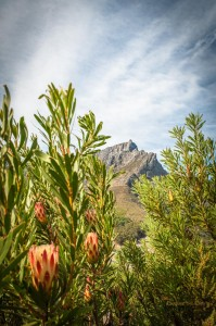 Proteas and Table Mountain